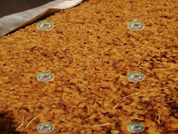 تولید کشمش صادراتی گلدن در کارخانه