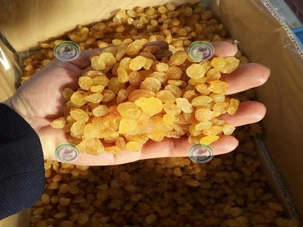 تولید کشمش طلایی